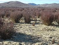 Monoao (<em>Dracophyllum subulatum</em>) heathland on old tephra plains at Rangitaiki, central North Island (Susan Wiser)