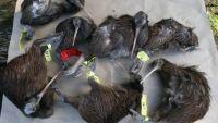 Dog attacks kill 7 kiwi in Kerikeri