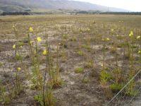 Cromwell Chafer Beetle Reserve with adventive evening primrose (Oenothera glazioviana) (Susan Wiser)