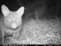 Possum closeup