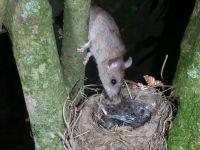Rat predation of a nestling (Photo: Ngā Manu)