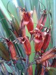 Kauhangaroa: flowers and seed pods