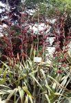 Rangiwaho: bush with kōrari