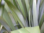 Hūhiroa: leaves