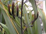 Māeneene: seed pods
