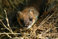 Stoat in dry grass
