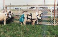 Measuring methane emissions from flocks of free-ranging sheep. Image - F Kellihier