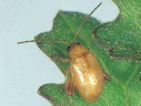 Ragwort flea beetle