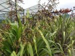 Wharariki: seed pods and flowers