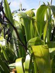 Wharanui: leaves and seed pods