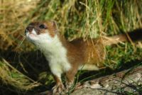 Stoat investigating an odour