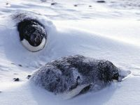 Penguins covered in snow.