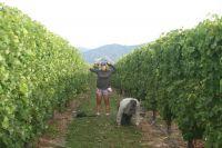 Measuring plants in vineyard